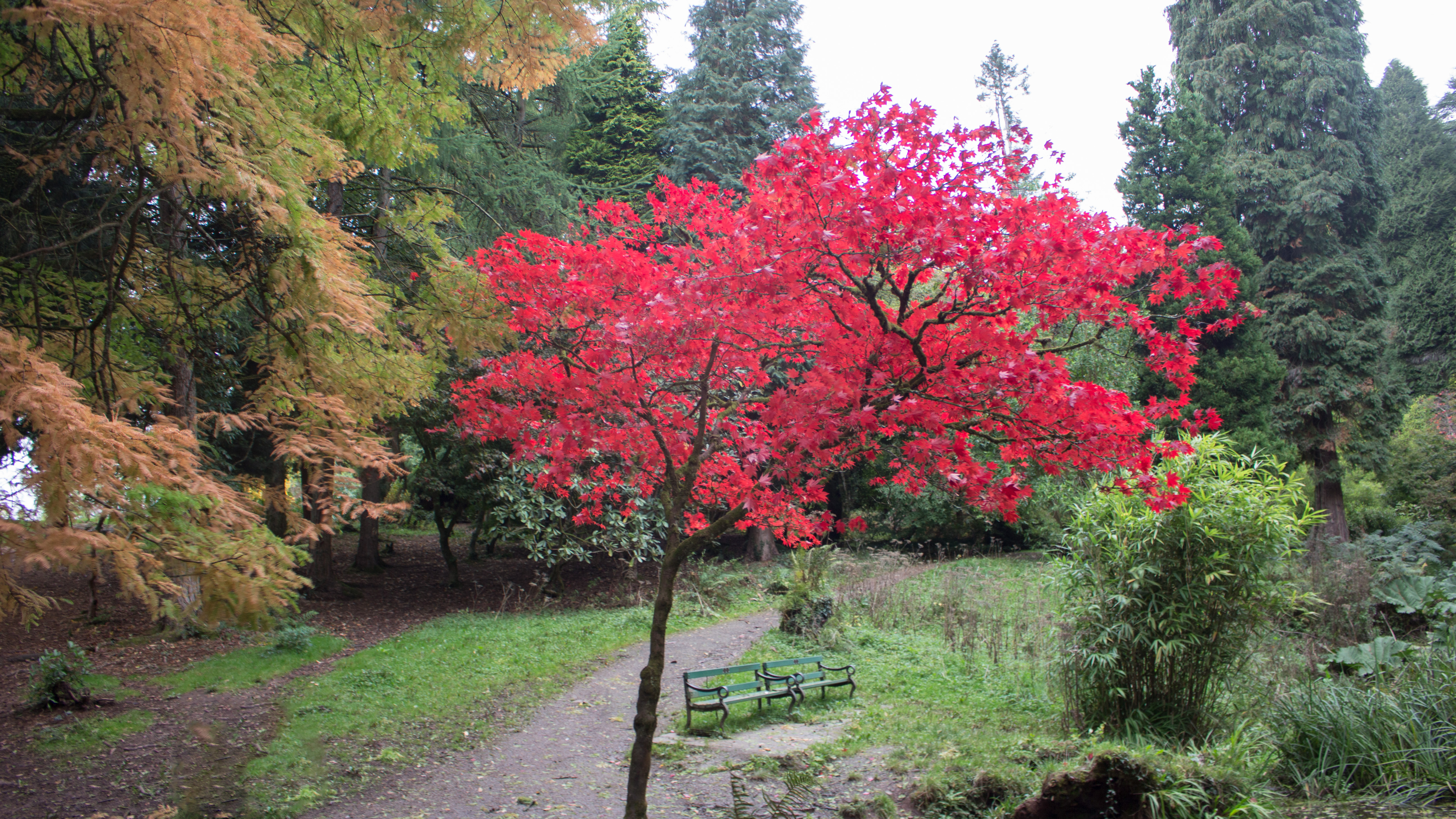 A photo of a tree with stunning red leaves, surrounded by Autumnal trees.