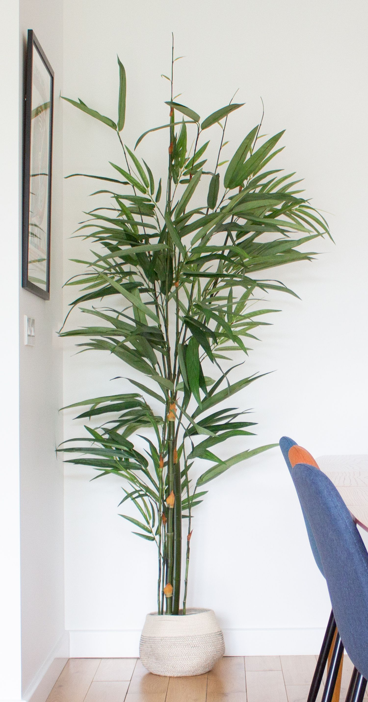 A photo of the tall plant in a rattan planter, next to the dining table.