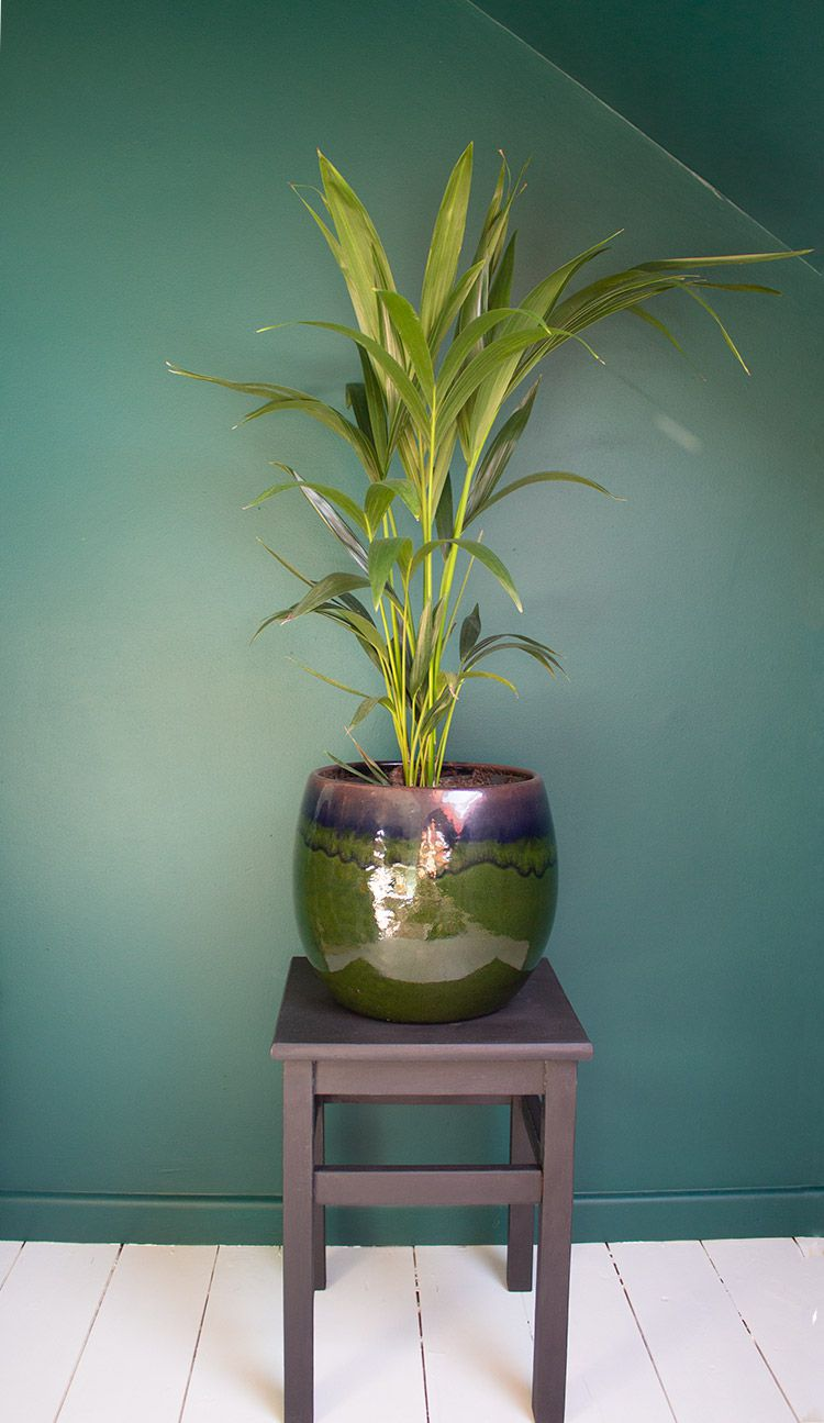 A photo of a large kentia palm plant in a glossy green plant pot, on a black painted plant stand.
